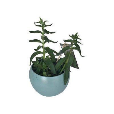 """5"""" Succulent Orb"""