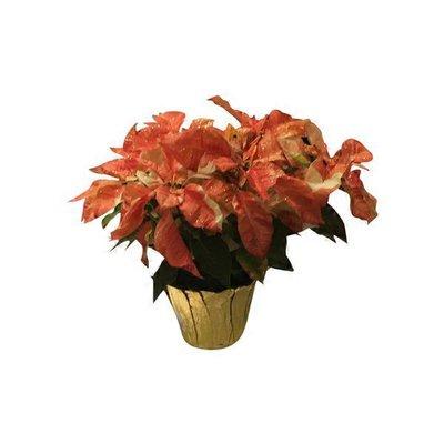 Autumn Bty Poinsettia