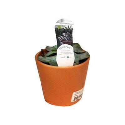 "4"" Succulents in Clay Pot"
