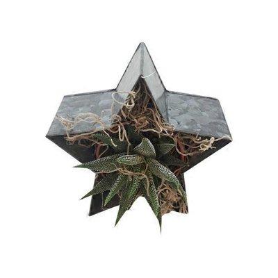 Star Succulent