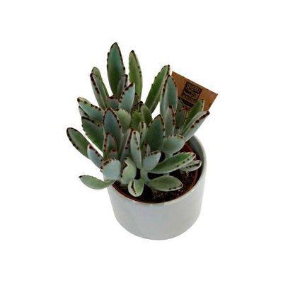 Large Succulent in Ceramic