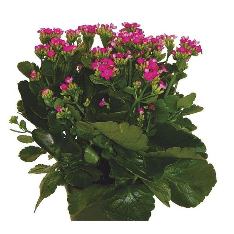 """Quinlan Wasserman 6"""" Flowering Kolanchoe Plant"""