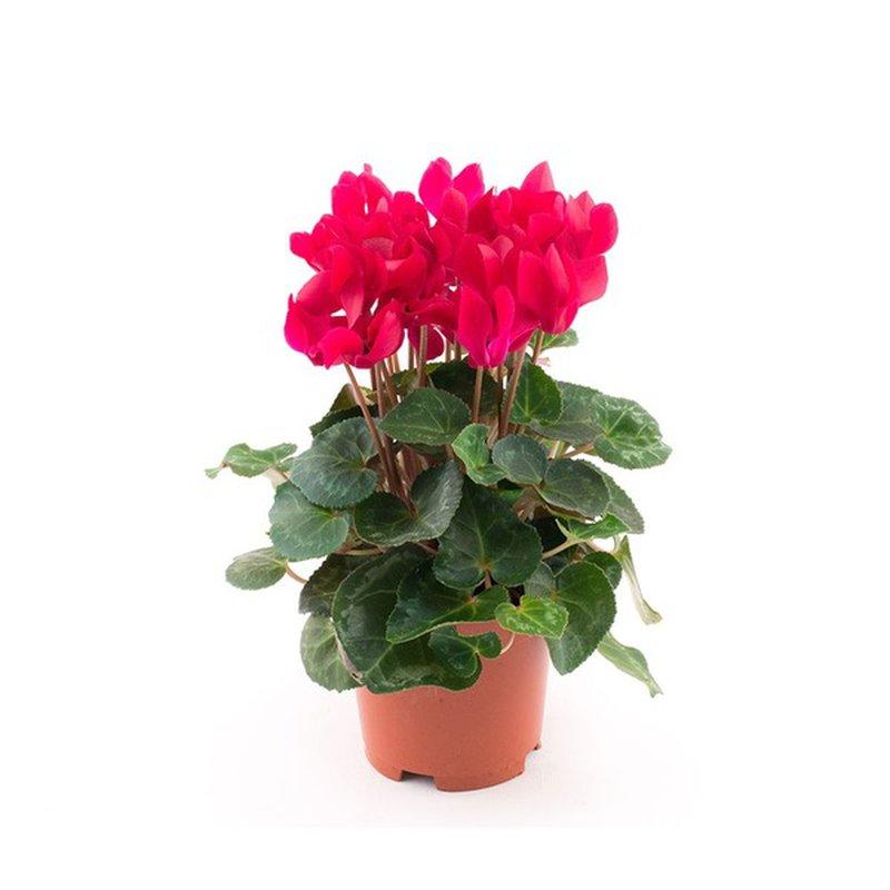 "Len Busch Roses 4.5"" Cyclamen Plant"