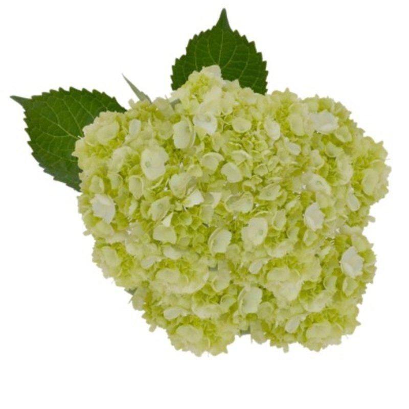Debi Lilly Mini Green Hydrangea