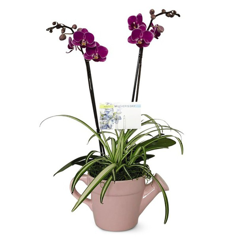 Double Garden Orchid Plant