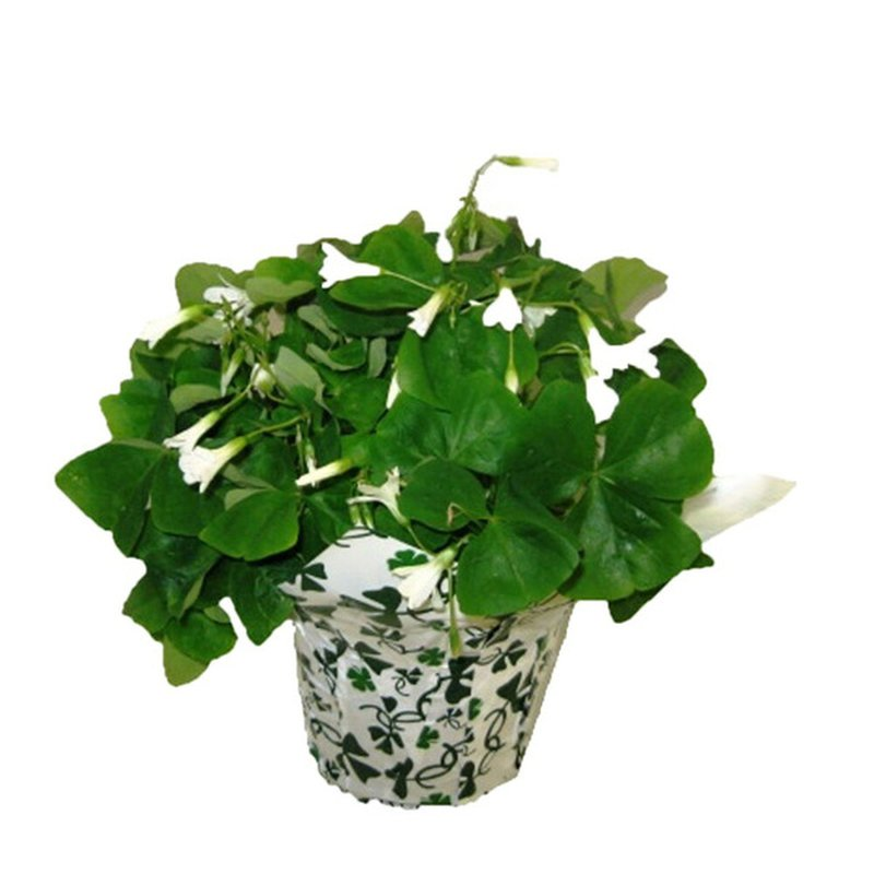 """Red Oak Greenhouse 6"""" Oxalis Potted Plant"""