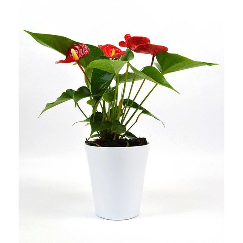 """4"""" Ceramic Anthurium Plant"""