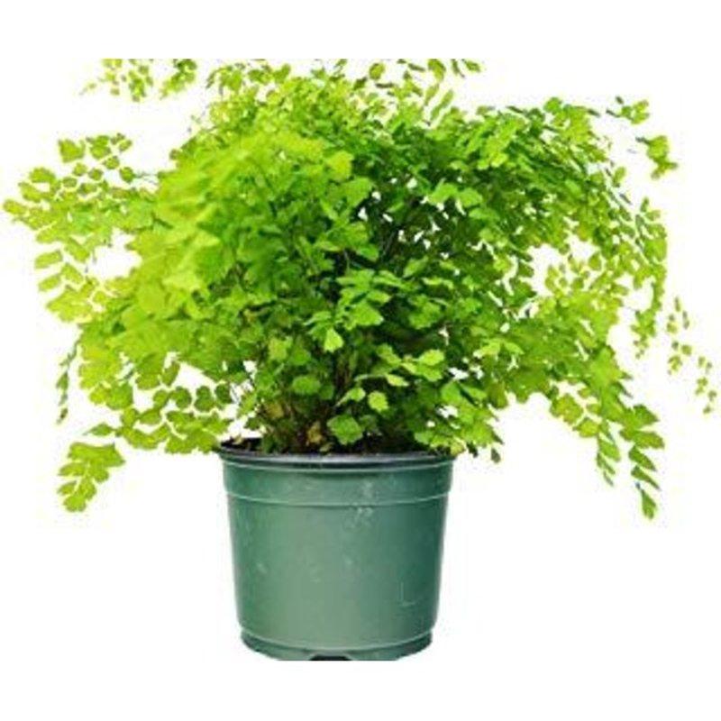 "Floral Dsd 6"" Maidenhair Fern Plant"