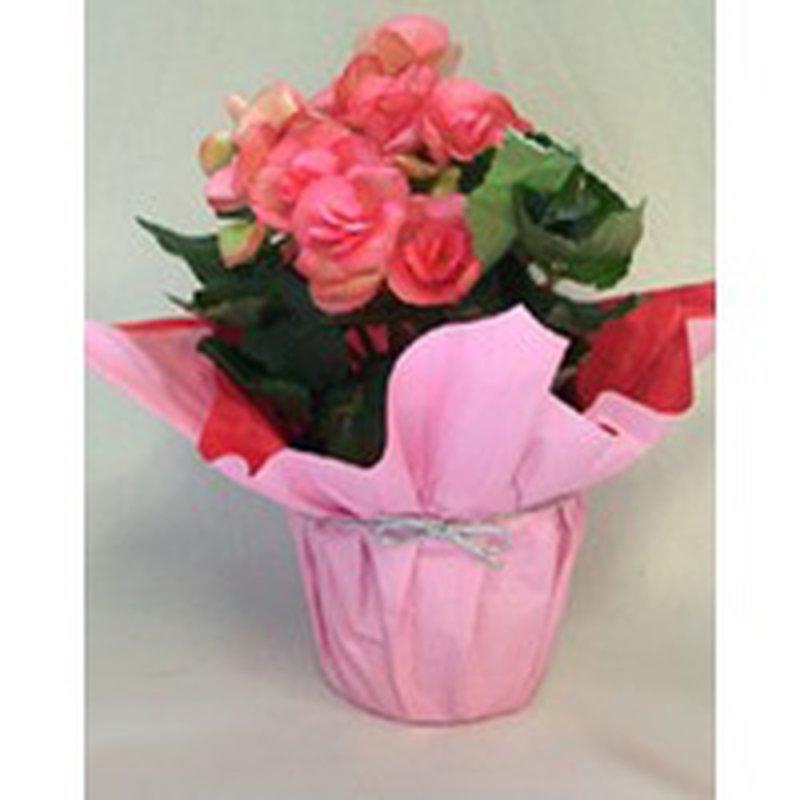 """Floral 4"""" Begonias"""